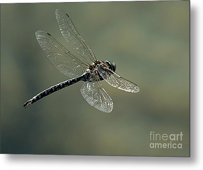 Dragonfly In Flight Metal Print by Bob Christopher