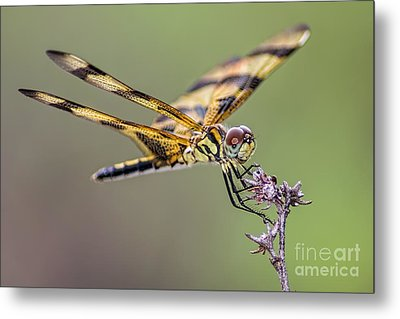 Metal Print featuring the photograph The Halloween Pennant Dragonfly by Olga Hamilton