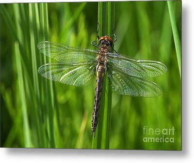 Dragonfly On Grass Metal Print by Sharon Talson