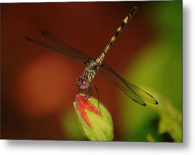 Metal Print featuring the photograph Dragonfly On Hibiscus by Leticia Latocki