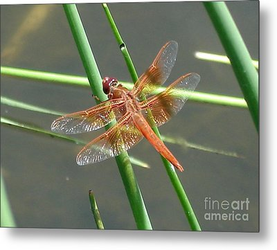 Metal Print featuring the photograph Dragonfly Orange by Kerri Mortenson