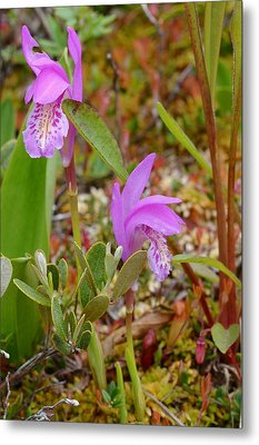 Dragon's Mouth Orchids #2 Metal Print by Sandra Updyke