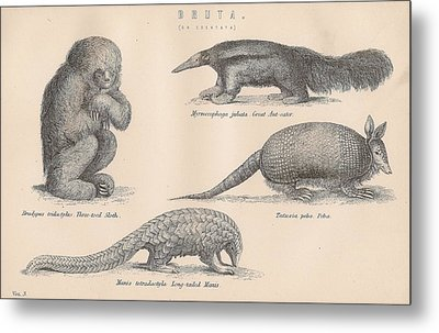 Drawings Of Unusual Animals Metal Print by Anon