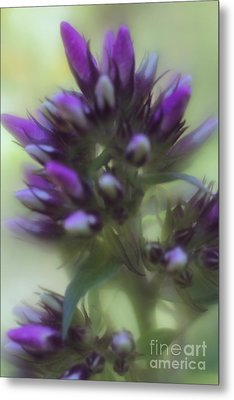 Metal Print featuring the photograph Dreamy Lavendar Buds by Mary Lou Chmura