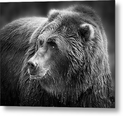 Drinking Grizzly Bear Black And White Metal Print by Steve McKinzie