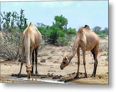 Dromedary Camels Drinking Metal Print