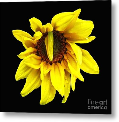 Metal Print featuring the photograph Droops Sunflower With Oil Painting Effect by Rose Santuci-Sofranko