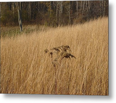 Dry Grass Metal Print by David Fiske