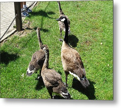 Duck - Animal - 01131 Metal Print by DC Photographer