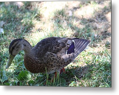 Duck - Animal - 011320 Metal Print by DC Photographer