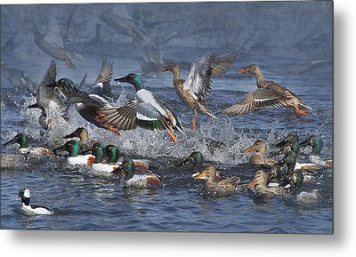 Duck Frenzy Metal Print by Angie Vogel