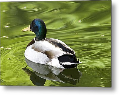 Duck On A Green Pond Metal Print by Tony Reddington