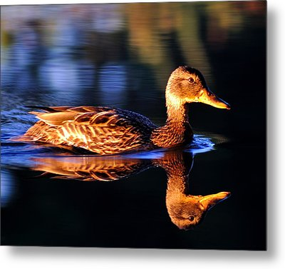 Duck On A River With Refletion Metal Print
