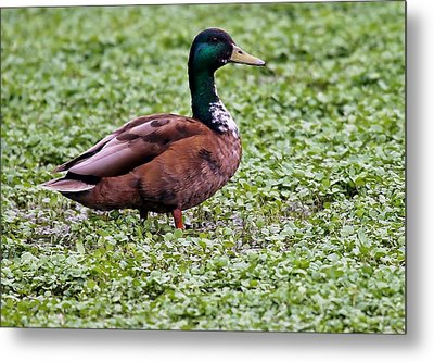 Duck On Watercress Metal Print by David Warner