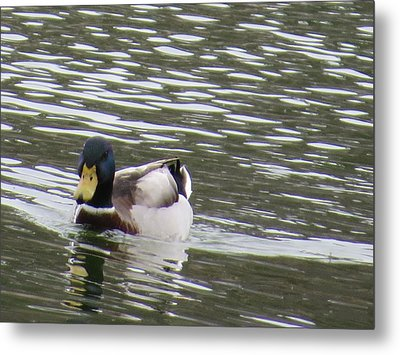 Metal Print featuring the photograph Duck Out For A Swim by Aaron Martens