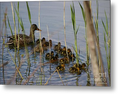 Ducklings And Mom Metal Print by Tannis  Baldwin
