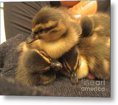 Ducklings  Metal Print by Vicky Tarcau