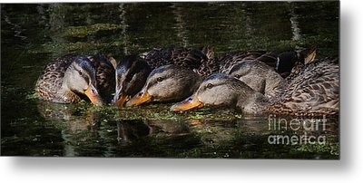 Metal Print featuring the photograph Ducks In A Row by Jan Piller