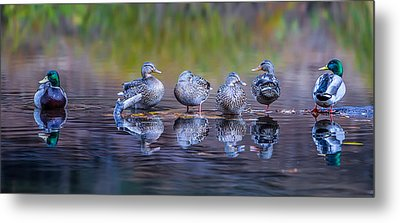 Ducks In A Row Metal Print by Larry Marshall