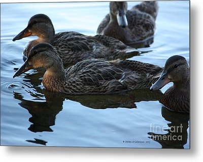 Ducks Reflecting Metal Print