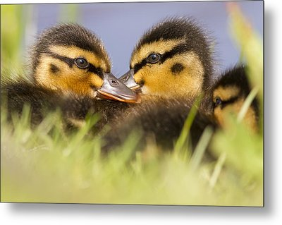 Ducktwins Metal Print by Roeselien Raimond