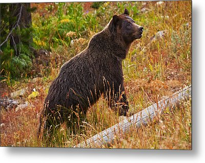 Dunraven Grizzly Metal Print by Mark Kiver