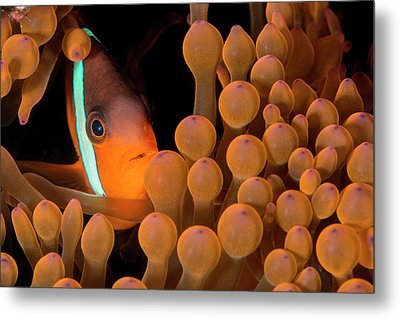 Dusky Anemonefish Metal Print by Louise Murray