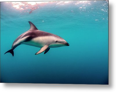 Dusky Dolphin (lagenorhynchus Obscurus Metal Print by James White