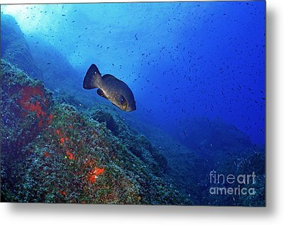 Dusky Grouper Metal Print