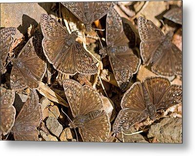 Duskywing Butterflies Metal Print by Melinda Fawver