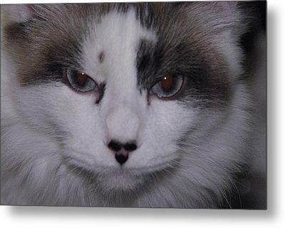Metal Print featuring the photograph Dusty - The Cat's Meow by Robyn Stacey