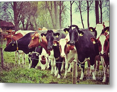 Metal Print featuring the photograph Dutch Cows by Nick  Biemans