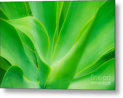 Dwarf Agave Metal Print by David Lawson