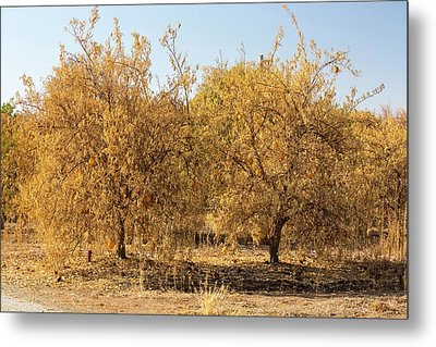 Dying Orange Trees Metal Print by Ashley Cooper