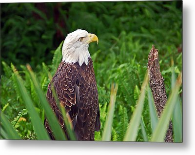 Eagle Metal Print by Aimee L Maher Photography and Art Visit ALMGallerydotcom