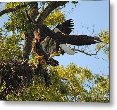 Eagle Bringing Fish Into The Nest Metal Print by Jai Johnson