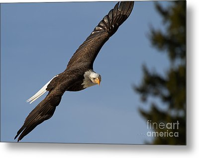 Eagle Eye Metal Print by Beve Brown-Clark Photography