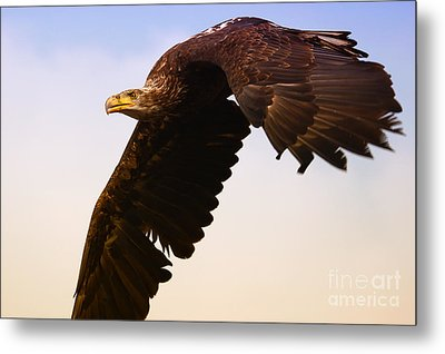 Metal Print featuring the photograph Eagle In Flight by Nick  Biemans
