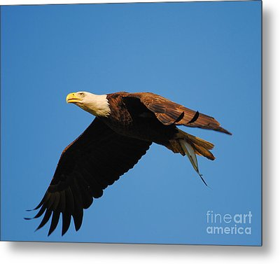 Eagle In Flight With Fish Metal Print by Jai Johnson