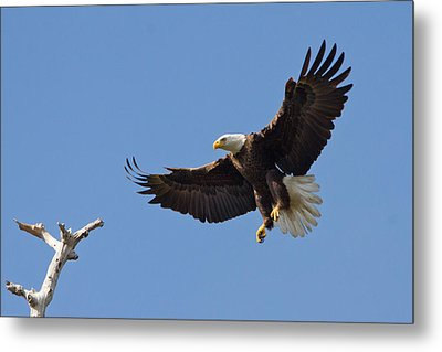 Metal Print featuring the photograph Eagle Landing 2 by Phil Stone