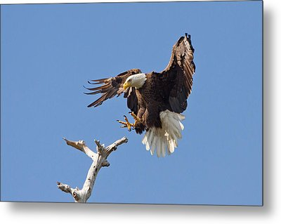 Metal Print featuring the photograph Eagle Landing At Bayonne Preserve by Phil Stone