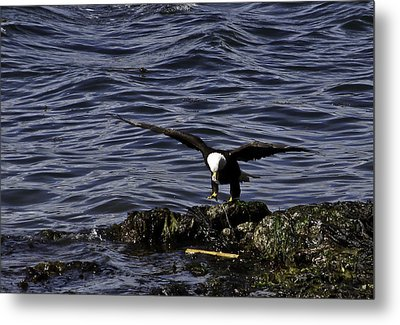 Metal Print featuring the photograph Eagle Landing. by Timothy Latta