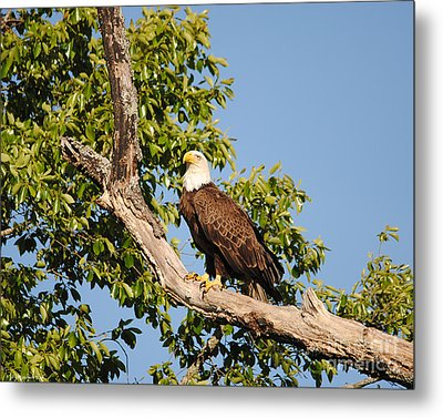 Eagle On Roosting Branch Metal Print by Jai Johnson