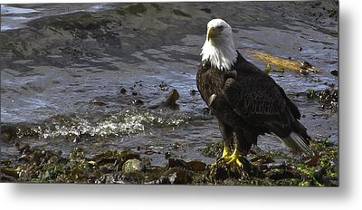 Metal Print featuring the photograph Eagle On The Beach by Timothy Latta