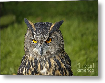 Eagle Owl Metal Print by Clare Bambers