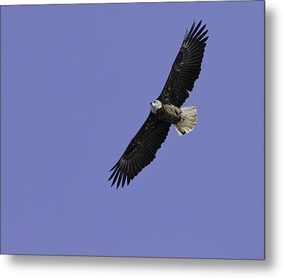 Eagle Soaring In The Sky Metal Print by Thomas Young