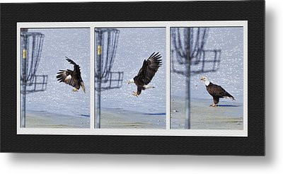 Metal Print featuring the photograph Eagle Triptych by Rob Graham