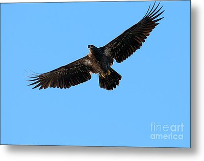 Eagle Wings Metal Print by Sharon Talson