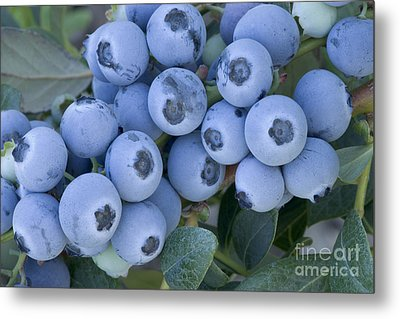 Early Blue Blueberries Metal Print by Inga Spence