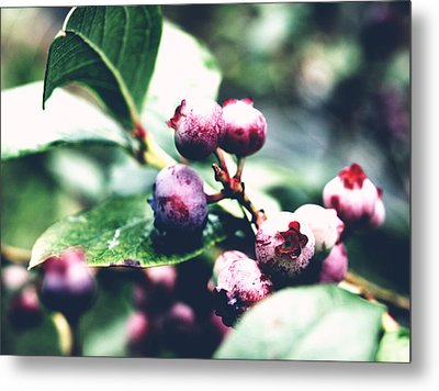 Early Blueberries Metal Print